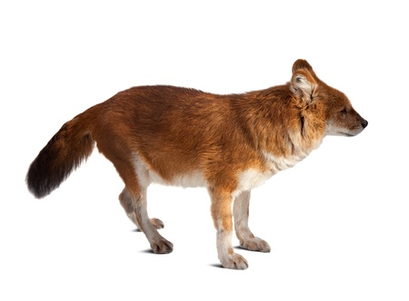 cuon: Dhole (Cuon alpinus). Isolated over white background with shade