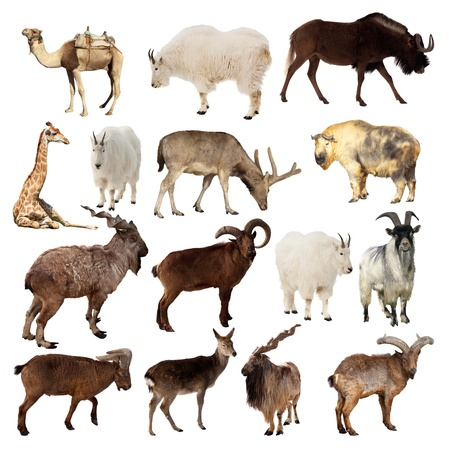 antelope: Set of Artiodactyla animals. Isolated over white background (Camel, Markhor, Takin, Gnu, Tur, Deer, Giraffe, Goat)