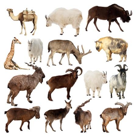 yak: Set of Artiodactyla animals. Isolated over white background (Camel, Markhor, Takin, Gnu, Tur, Deer, Giraffe, Goat)