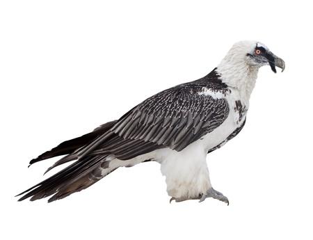 Bearded vulture (Gypaetus barbatus).  Isolated over white background photo