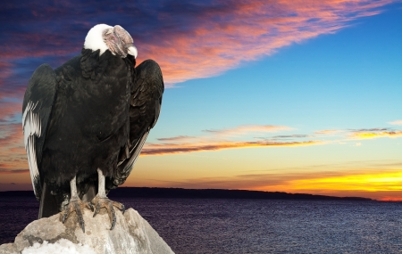 Andean condor sitting on rock  against sunset sky background photo