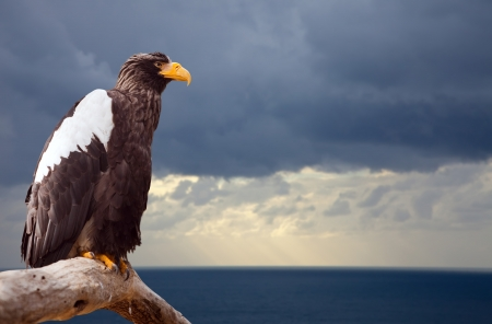 vigilant: Stellers sea eagle against sea landscape Stock Photo