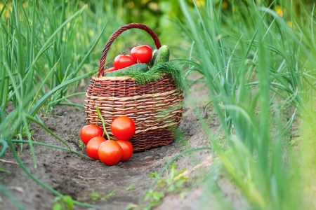 Harvested vegetables in basket  at garden photo