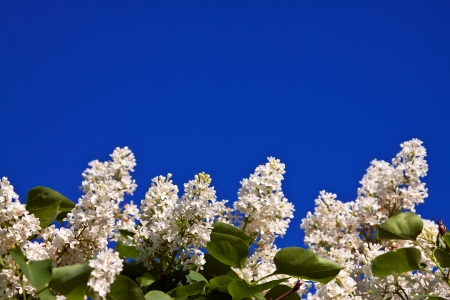White lilac branch against blue sky with copyspace photo