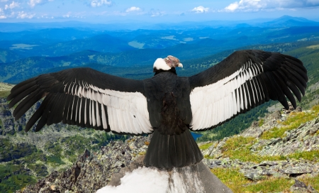 wildness: Andean condor (Vultur gryphus)  in wildness area