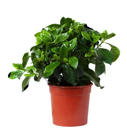 jessamine: Gardenia jasminoides (comune gardenia, gelsomino o cape cape gelsomino) in vaso. Isolato su sfondo bianco