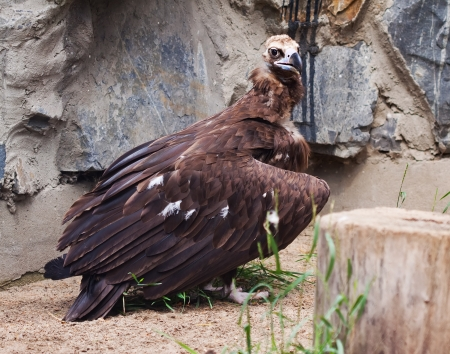 full length shot of vulture against rocky background photo