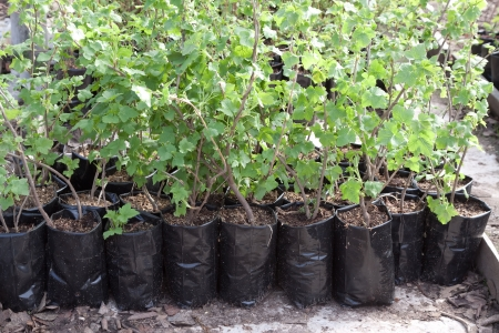 clearance sale of currants sprouts in pots outdoor during spring Stock Photo - 14463709
