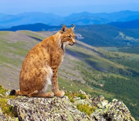 Lynx se sienta en el fondo de la naturaleza salvaje