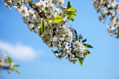 cherry tree branch in spring blooms garden Stock Photo - 14463653