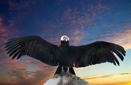 condor: Andean condor on rock  against sunset sky background Stock Photo
