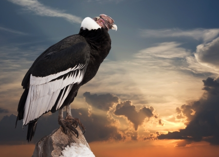 condor: Andean condor sitting on rock  against sunset sky background