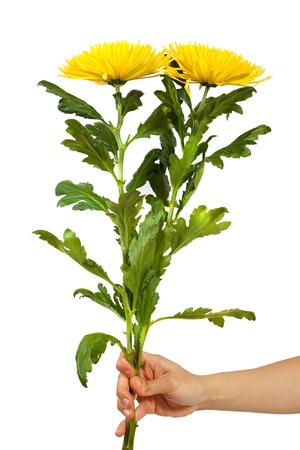 Two yellow chrysanthemums in hand. Isolated over white background photo