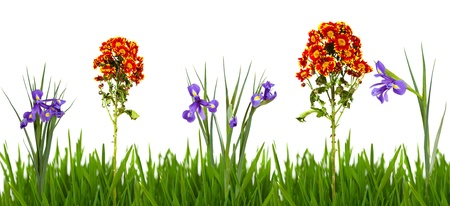 flowers in green grass border. Isolated on white  background