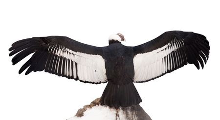 span: Andean condor (Vultur gryphus).  Isolated over white background