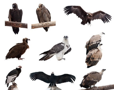 gyps: Set of vulture birds. Isolated over white background