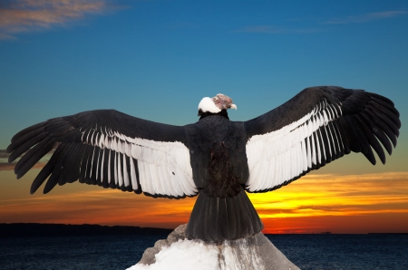 andean: Andean condor on rock  against sunset sky background Stock Photo