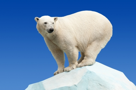 wildness: polar bear in wildness area against blue sky