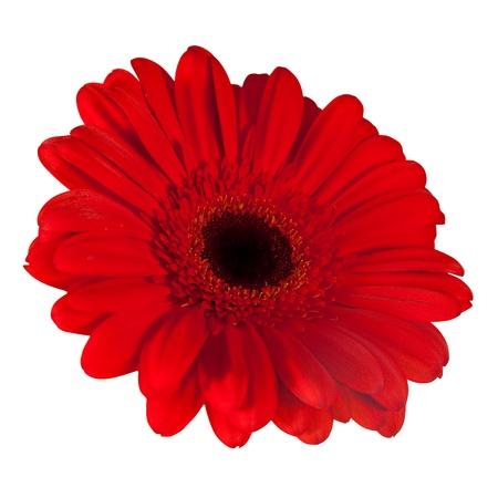 Single daisy flower. Isolated over white background