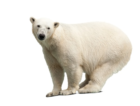 polar bear: polar bear over white background with shadows Stock Photo
