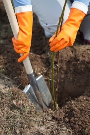 replanting: Closeup of farmer planting  sprouts shrubbery in ground Stock Photo
