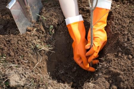 plantando arbol: Primer plano de plantación de árboles en suelo