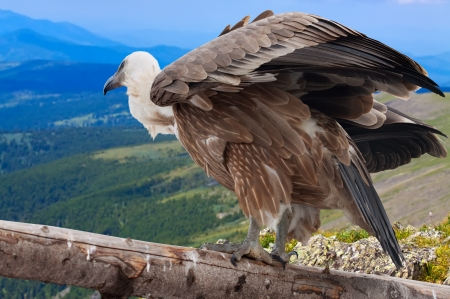 full length shot of Griffon vulture (Gyps fulvus) against mountains background photo