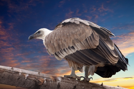 Griffon vulture sitting on wood trunk  against sunset sky background photo