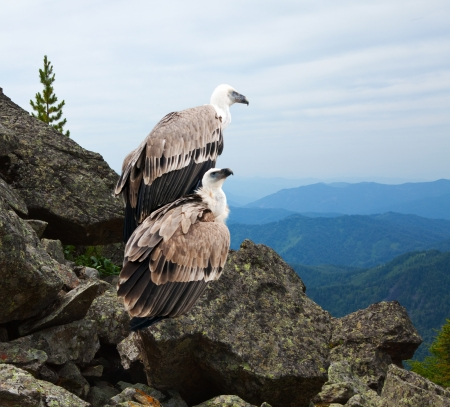 wildness: Couple of Griffon vulture (Gyps fulvus)  in wildness area Stock Photo