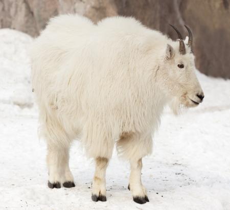billygoat: Rocky mountain goat (Oreamnos americanus) on snow