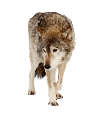 wolf (Canis lupus). Isolated over white background  photo