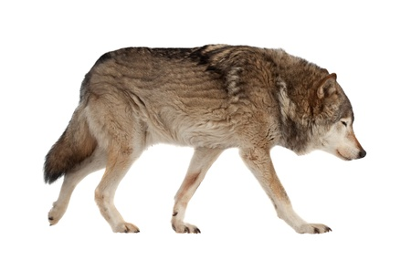 wolf. Isolated over white background with shade Stock Photo - 15025555