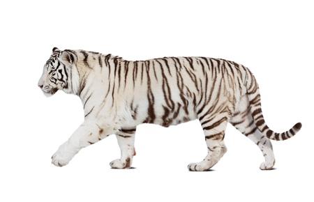 isolated tiger: Passeggiate tigre bianca. Isolato su sfondo bianco con ombra