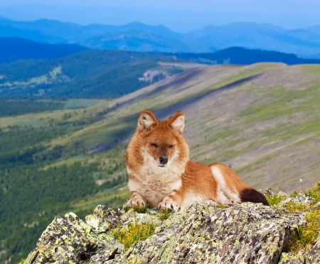 Dhole (Cuon alpinus) on rock in windness area photo