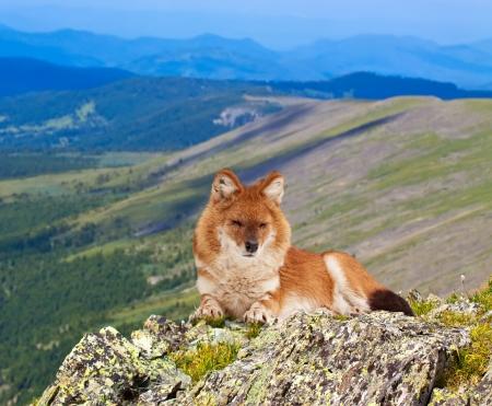 cuon: Dhole (Cuon alpinus) on rock in windness area