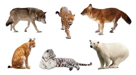 lynxs: Jeu de mammif�res carnivores. Isol� sur fond blanc avec ombre Banque d'images