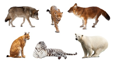 tiger white: Set of Carnivora mammal. Isolated over white background with shade