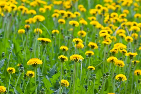 Plant of yellow wild dandelions on green meadow photo