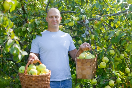 Happy man picking apples in the garden photo