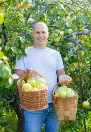 gathers: Happy man gathers apples in the garden