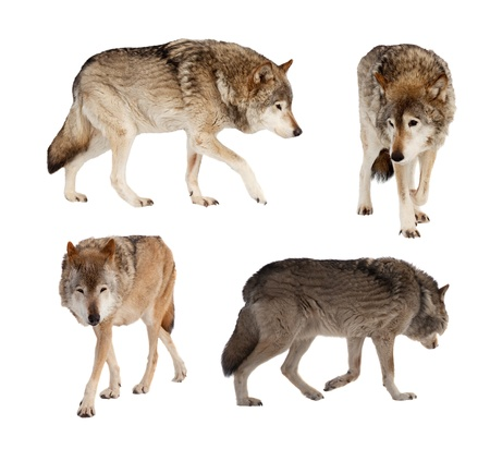 gray wolf: Set of few wolves. Isolated over white background with shade Stock Photo