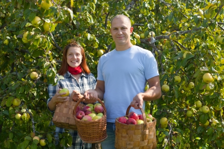 Man and woman picks apples in the orchard Stock Photo - 15360191