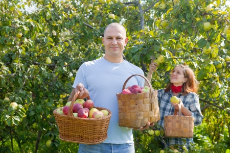 Happy  couple picks apples in the orchard photo