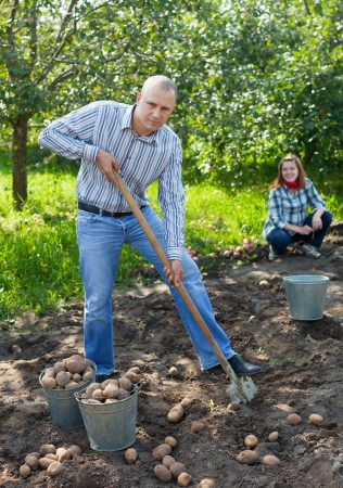 Couple  harvesting potatoes in garden photo