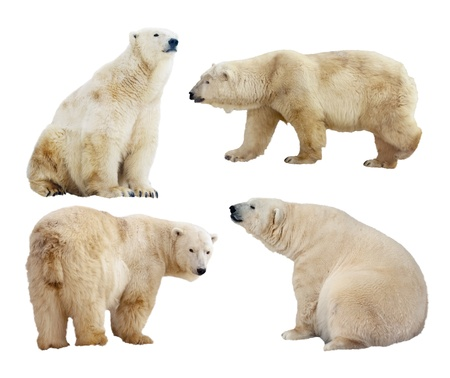 north pole: Set of polar bears. Isolated over white background