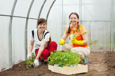 Two women planting tomato seedlings in hothouse photo