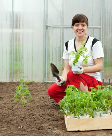 woman planting tomato seedling in hothouse photo