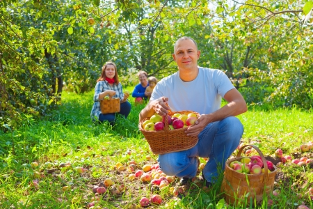 Happy  family  with apple harvest in orchard Stock Photo - 15586187