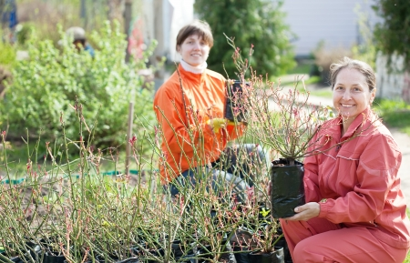 Two women  with roses sprouts in pots   photo