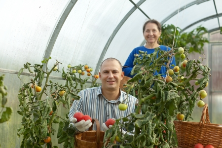 Man and woman picking tomato in greenhouse photo